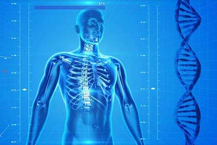 a digital human skeleton