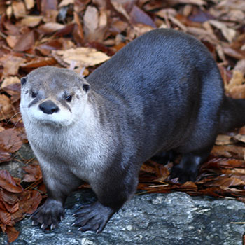 North American River Otter in the wild