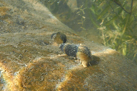 Underwater picture of snails on a rock