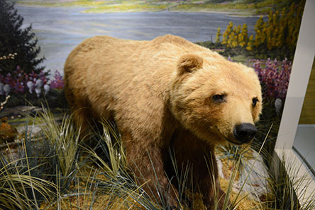 A bear in the Schisler Museum